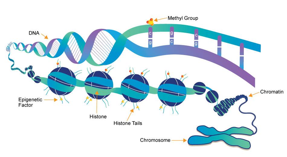 اپی ژنتیک درمانی: کپی و ترجمه ژن